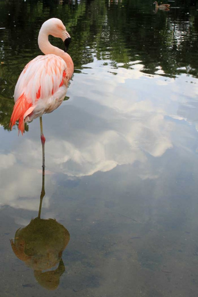 See flamingo's on days out at Harewood near Leeds