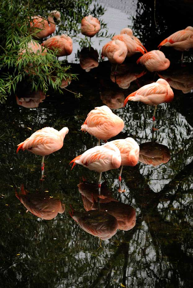 Visit Harewood House near Leeds to see flamingo