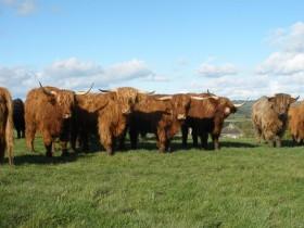Harewood Estate rears Highland Cattle