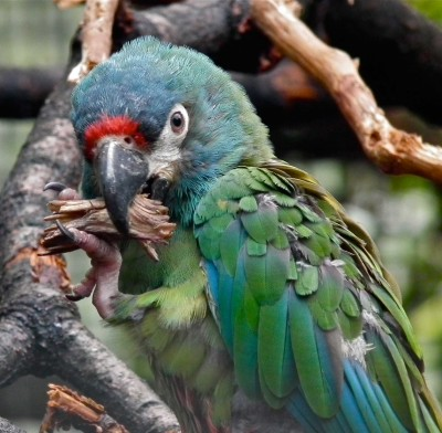 See parrots at Harewood near Leeds