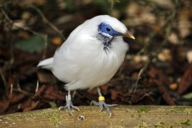 Bali Starling's at Harewood House in Yorkshire