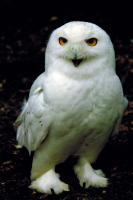 Harewood House in Yorkshire is home to a pair of snowy owls