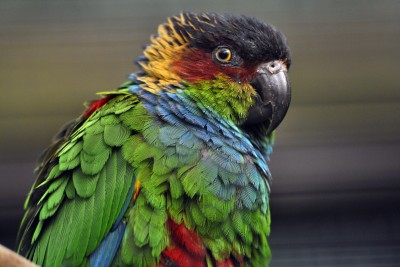 Bright colours of the Blue Throated Conure in Harewood's Bird Garden