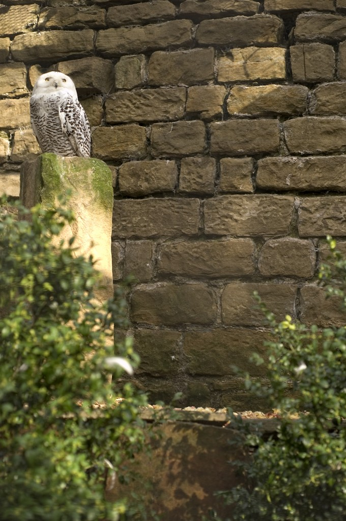 Harewood House near Leeds is home to a pair of snowy owls