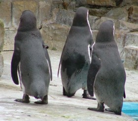 Harewood's Humboldt Penguins are designed for cold weather
