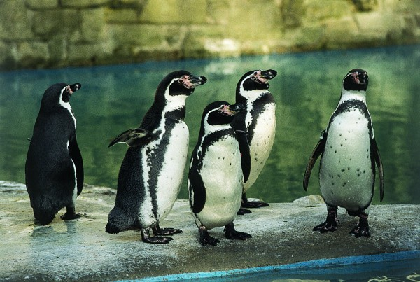 The Penguin enclosure at Harewood is designed to replicate coastline