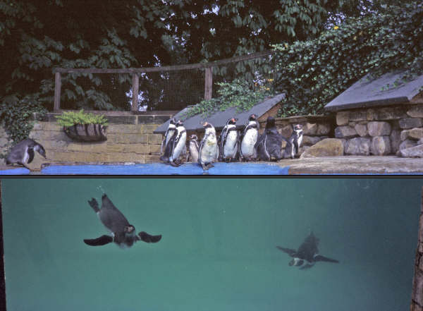 Playful penguins at Harewood