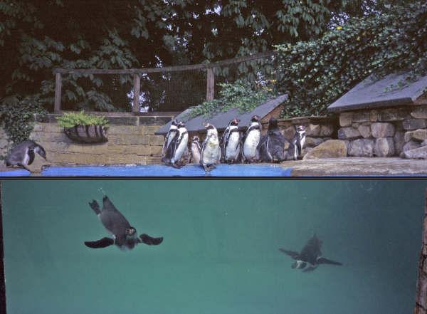 Playful penguins at Harewood