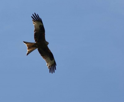 Harewood House has red kites