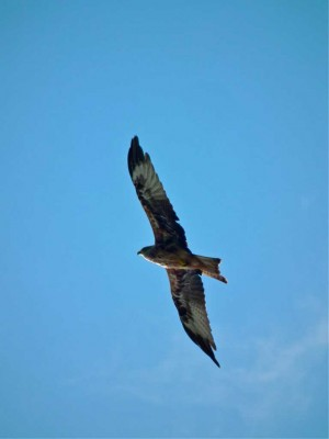 Harewood is home to red kites