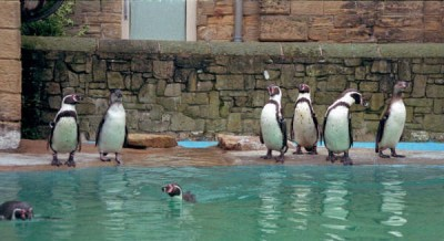 Penguins at Harewood House near Leeds