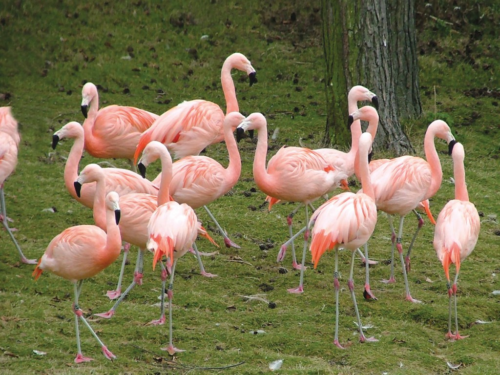 Pink Chilean Flamingos in the Bird Garden at Harewood House