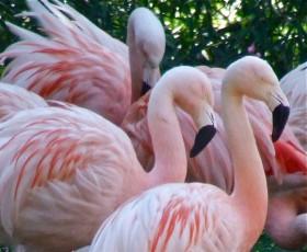 Harewood House near Leeds has flamingos