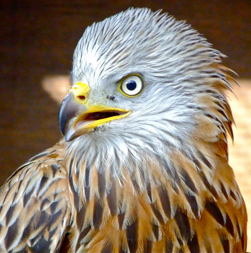 Red Kites can be seen all over at Harewood House in Yorkshire