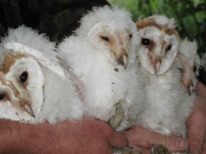 Baby barn owls on the Harewood Estate