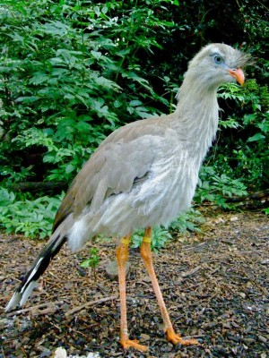 Harewood House in Yorkshire has a Red Legged seriema