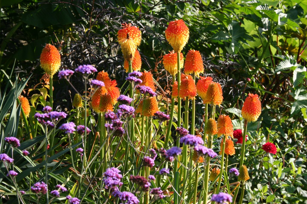 Red Hot Pokers in the gardens at Harewood House in Yorkshire
