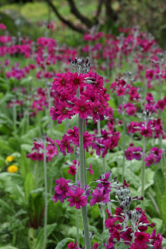 Primulas are grown at Harewood House in Yorkshire