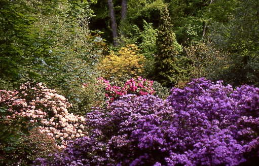 Rhododendron grow at Harewood House in Yorkshire
