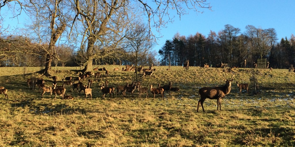 Deer at Harewood in February credit Harewood Estate