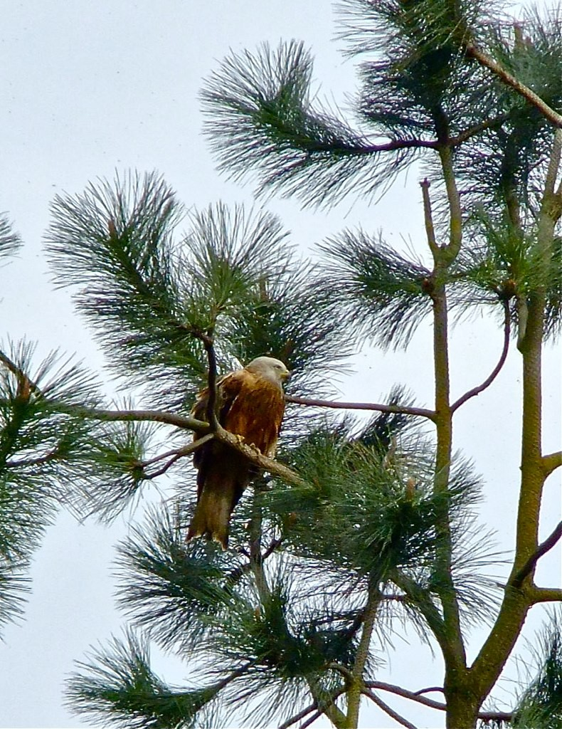Red Kite in Tree