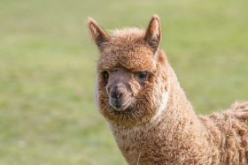 Harewood House has Harewood Farm with alpacas