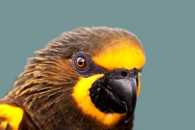 Harewood House in Yorkshire has brown lory's