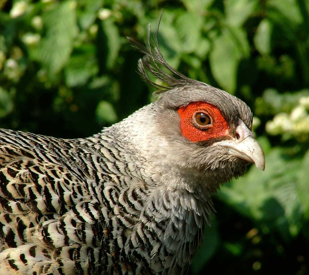 Visit Harewood in Leeds to see pheasants