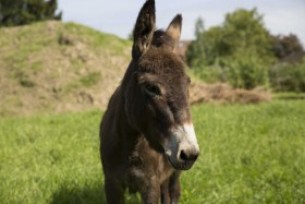 Visit Harewood in Yorkshire to see donkeys