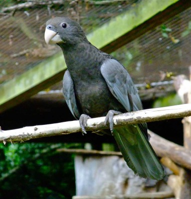 Visit Harewood in Yorkshire to see Greater Vasa Parrots