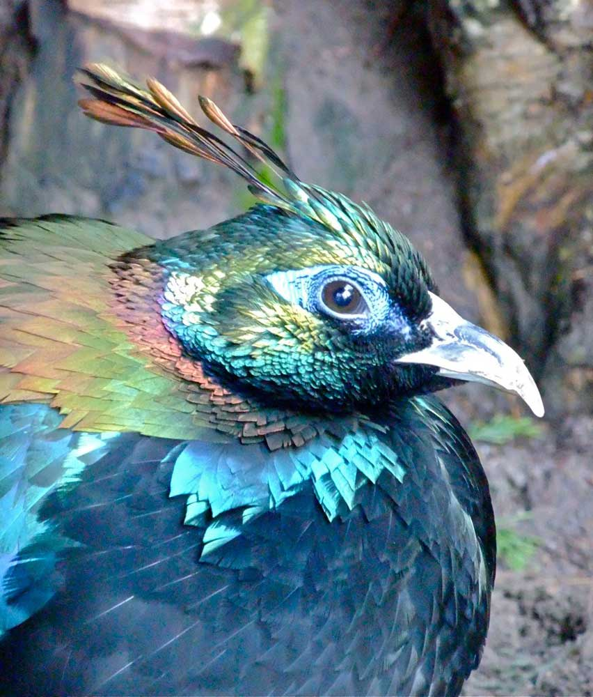 Visit Harewood House in Leeds to see Himalayan Monals