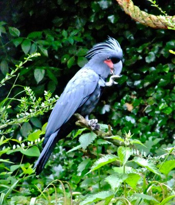 Visit Harewood House near Harrogate to see palm cockatoos
