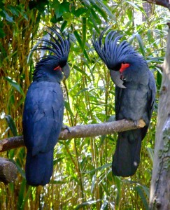 Visit Harewood House in Yorkshire to see palm cockatoos