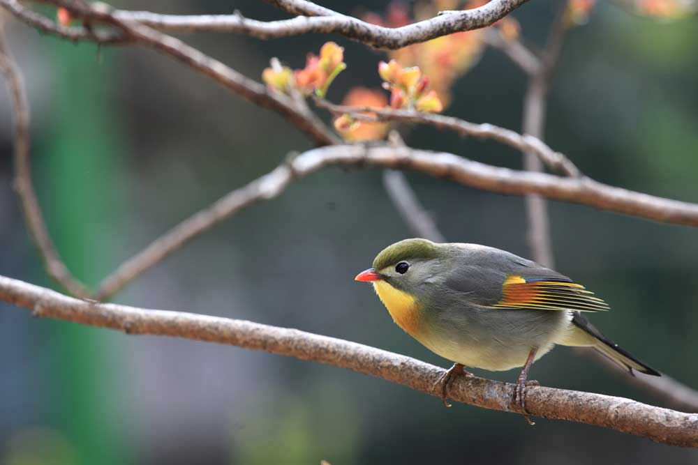 Visit Harewood in Yorkshire to see Pekin robins
