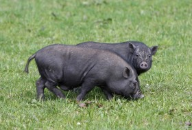 Harewood House near Harrogate has pot-bellied pigs on Harewood Farm