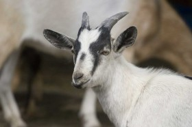 Harewood Farm has goats you can visit