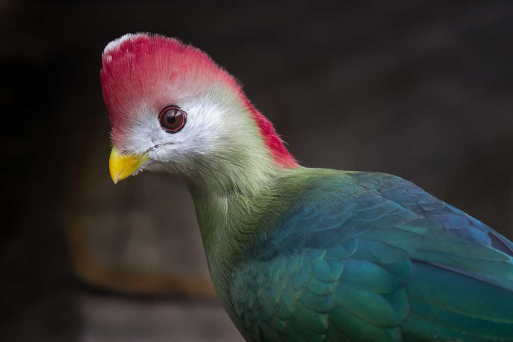 Visit Harewood to see Red crested turaco