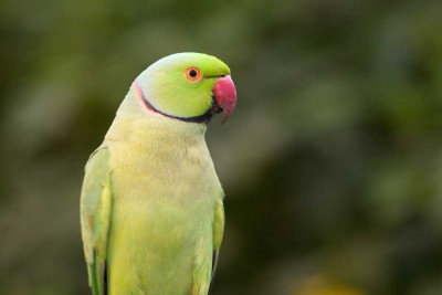 Visit Leeds and see Rinng-necked parakeets at Harewood