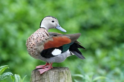 Visit Yorkshire and see Ringed Teal at Harewood House