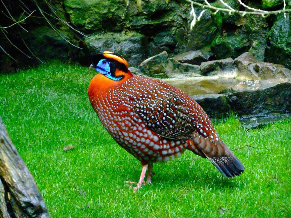 Tragopan-credit-Harewood-House-Trust-and-Peter-Stubbs