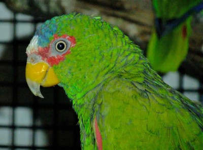 Visit Yorkshire to see White Fronted Amazon at Harewood House