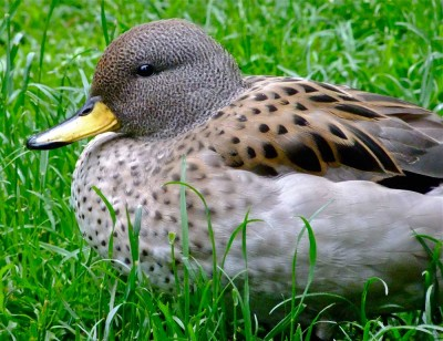 Visit Harewood House to see Yellow WInged Teal