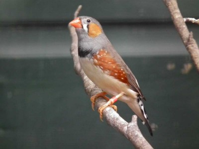 Visit Yorkshire to see Zebra Finch in Harewood Bird Garden