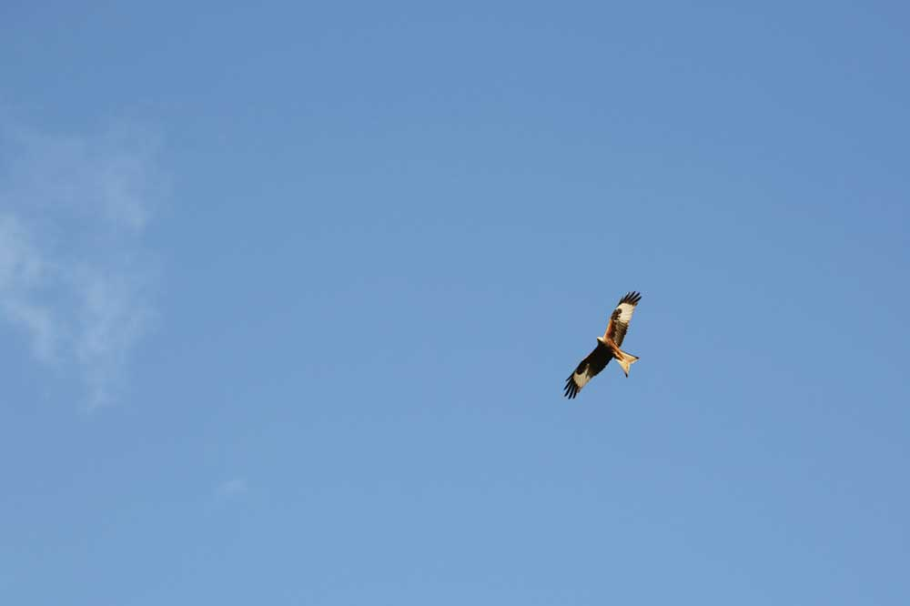 Visit Yorkshire to see Red Kites at Harewood House