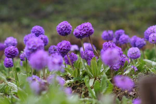 Enjoy gardens in Yorkshire including the Himalayan Garden at Harewood