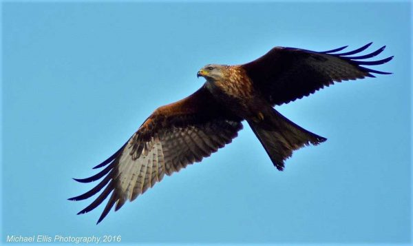 Visit Harewood House in Yorkshire to see red kites