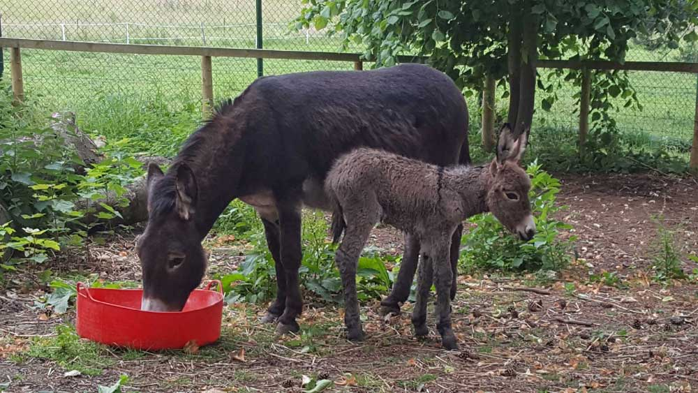 Baby donkey born at Harewood House in Yorkshire