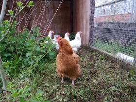 Back Garden Chicken Keeping with Harewood's Farm Manager