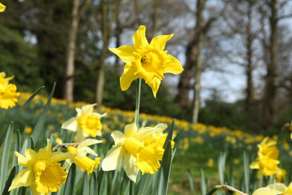 Daffodils on the Lakeside Path (March) credit Anthony Hicks and Harewood House Trust (2)