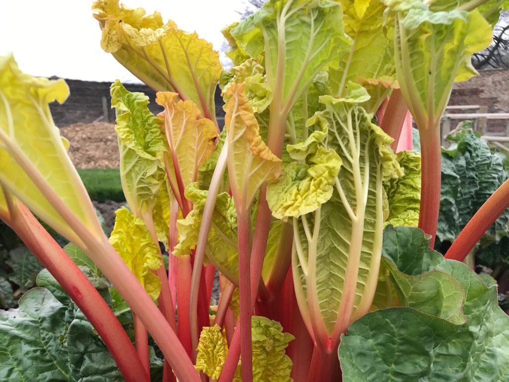 Rhubarb in the Walled Garden